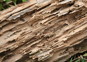 Termite-damaged wood showing rotting galleries outside of a Walterboro home